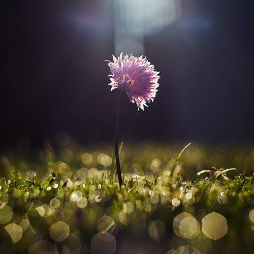 fleur-rose-seule-lumiere